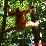 Ratna - first orangutan we saw