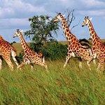 Giraffee, Murchison Fall National Park, Uganda