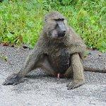 Olive Baboon, Kibale National park, uganda
