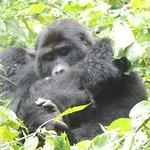 Gorillas trekking in Nkuringo, Uganda