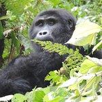 Gorillas Habituation  in Rushaga, Bwindi Impenetrable National Park, uganda