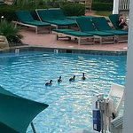 On cool mornings, the ducks are sometimes in the pool :)
