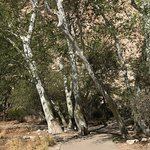 beautiful walkways with Juniper and Arizona Sycamore trees.