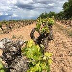 Las viñas empiezan a brotar
