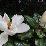 large magnolias