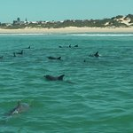 part of the large pod of dolphins we encountered near the shore