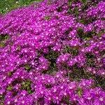 Piante grasse in fiore