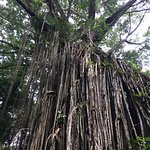 Cathedral Fig Tree照片