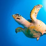 See lots of turtles on one of your shore dives with Sunset Divers