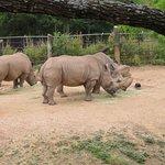 rhinos and buzzards