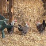 Very pretty hens.