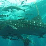 When surfacing from our deep dive, we encountered a Whale Shark. Incredible sight.