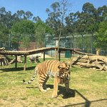 Tigre da Sibéria