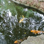 fish in the water pool in the Japanese Garden