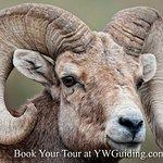 Bighorn Sheep Ram Portrait shot
