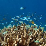 Stag coral and blue-green chromis