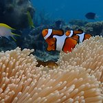 Beautiful clown fish couple