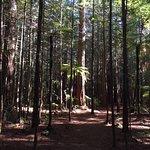 Redwoods, Whakarewarewa Forest Foto