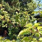 境内の梅の実