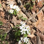False rue anemone (Enemion biternatum, Buttercup family)