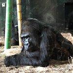 gorilla, cool!