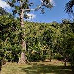 Silk cotton tree on the estate.