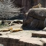 lions relaxing in the sun