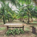 Punakea Palms Coconut Farm