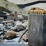 Sea Lions and Elephant Seal chilling out on Race Rocks' ramp
