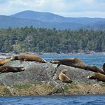 Sea Lions chilling out with Sooke in the background