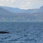 Dorsal fin of a Humpback Whale near Race Rocks