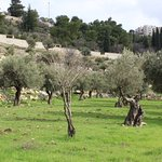 Garden of Gethsemane Foto