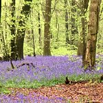 Purples and greens up on the North Downs as the bluebells make a splash.