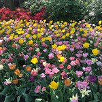 Explore gorgeous and lovely scenerey of Keukenhof 2018 Tulip fields with private taxi tour Airpo