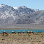 Laguna Diamante et troupeau de guanacos