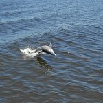 Dolphin in Peace River