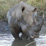 Rhino by the road side, Imfolozi park