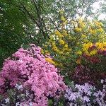 The azaleas in May with the rare Handkerchief Tree behind