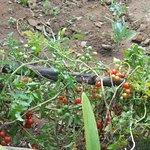 cherry en el bio huerto