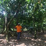 Juan taking down cacao from the trees