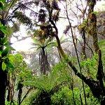 Treeferns on the Blue Mountain Peak Trail