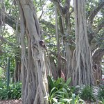 Some of the unusual trees that can be found in the botanic gardens