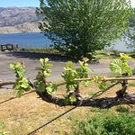 New spring growth on the vines, overlooking the lake!
