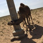 Happy Dromedary camel just getting a mid-day scratch.