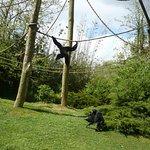les gibbons siamangs