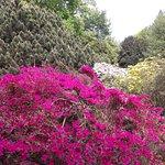 prachtvoller Azaleenbusch im Botanischen Garten von Köln (Flora)