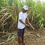 Notre Bob adoré en train de nous préparer de la canne à sucre