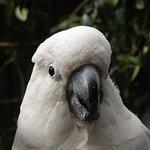 Salmon Crested Cockatoo