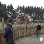 Keepers feeding Young Giraffe