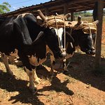 Discover Vinales Working on a Farm Tour